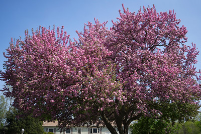 Pink Blossoming Apple Tree