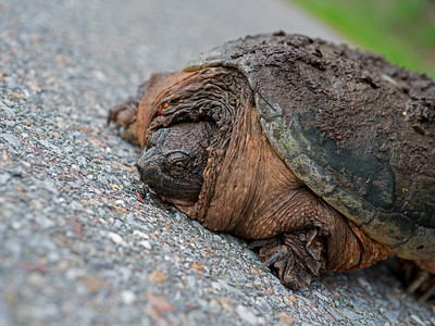 Common Snapping Turtle,  Chelydra serpentine, Closeup
