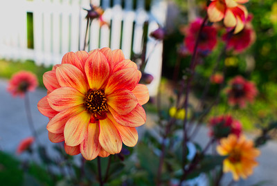 The Last Dahlias of October