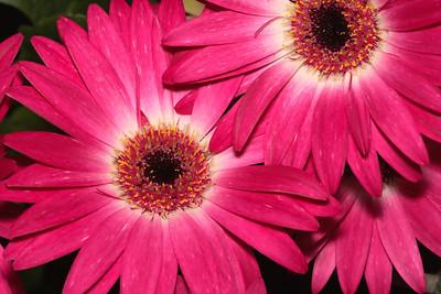 Pink Gerbera (Transvaal Daisy)