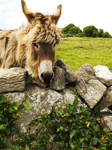 Donkey, Aran Islands, County Galway, Ireland