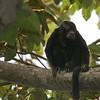 Black Howler Monkey, Costa Rica
