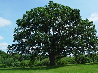 orchard tree002JPG