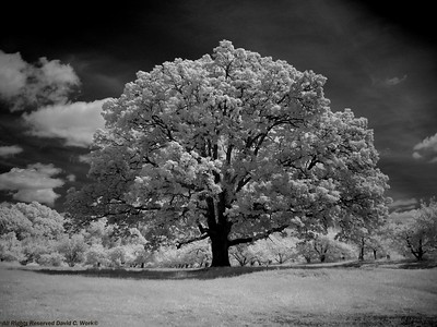 This is one of the grandest old oak trees in Ulster County. It dwarfs the Apple orchard where it stands