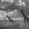Infra red Masai giraffes