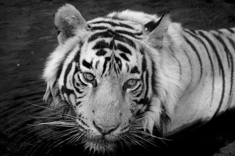 infrared, tiger, ranthambhore, ranthambore