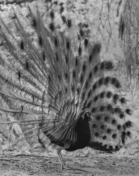 Mating display of Indian peafowl