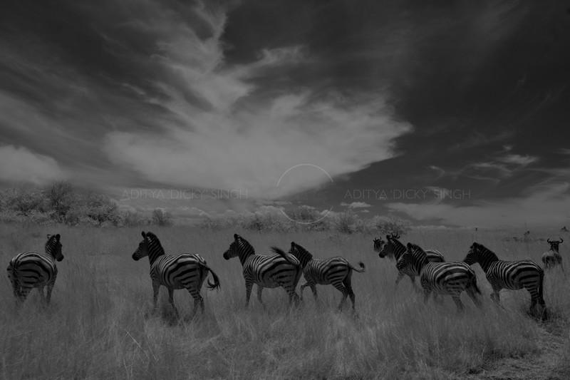 Herd of Zebras in Masai Mara
