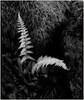 Ferns Innfrared