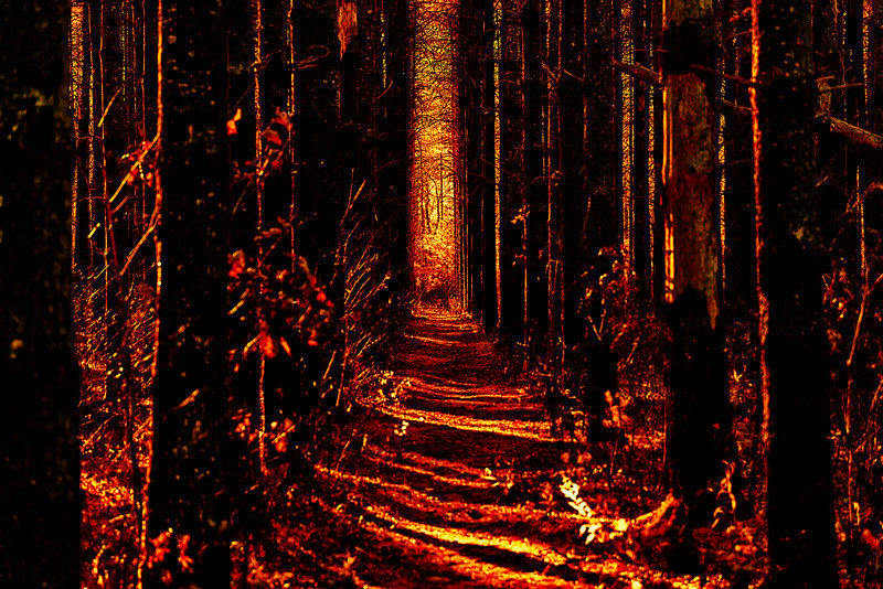 Distressed Pine Forest in Infrared
