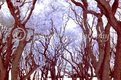 Trees, Infrared 14