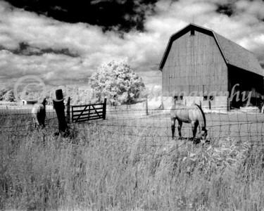 Horses Grazing #01