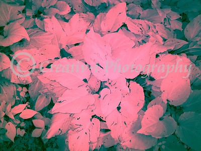Magenta Leaves- Infrared #02