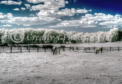 Horses Grazing, Milford, MI #02