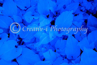 Blue Leaves- Infrared #06