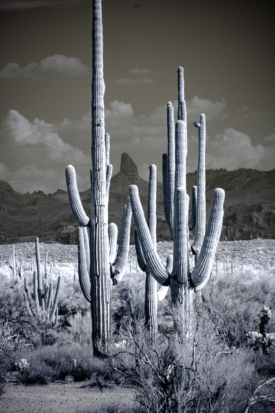 Saguaros and Weavers Needle