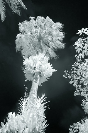 White palm tree in infrared