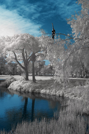 Infrared: Anhinga bird perched on white trees