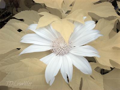 IR Bolivian Sunflower 1