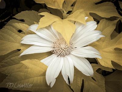 Bolivian Sunflower 2