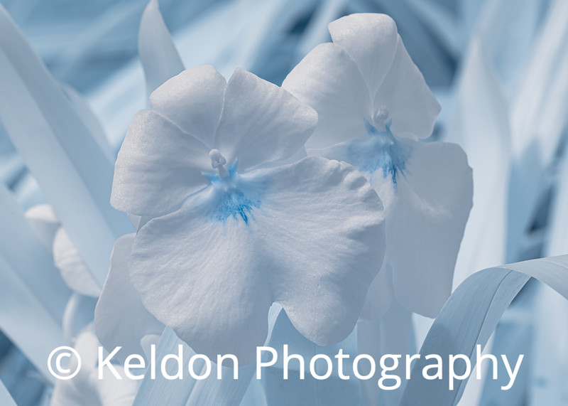 Orchid in Infrared (Eric Young Orchid Foundation, Jersey)