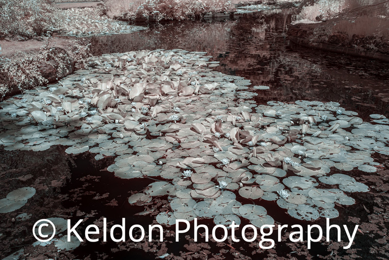 Water Lilies at Samares Manor, Jersey (infrared)