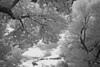 TreesIR07071210DCRW_1940-BW-1