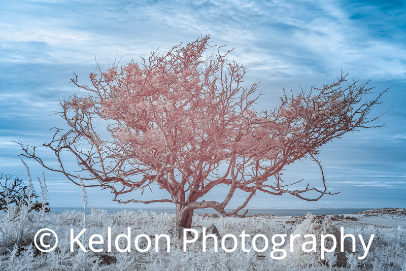 Jersey North Coast Tree in Infrared