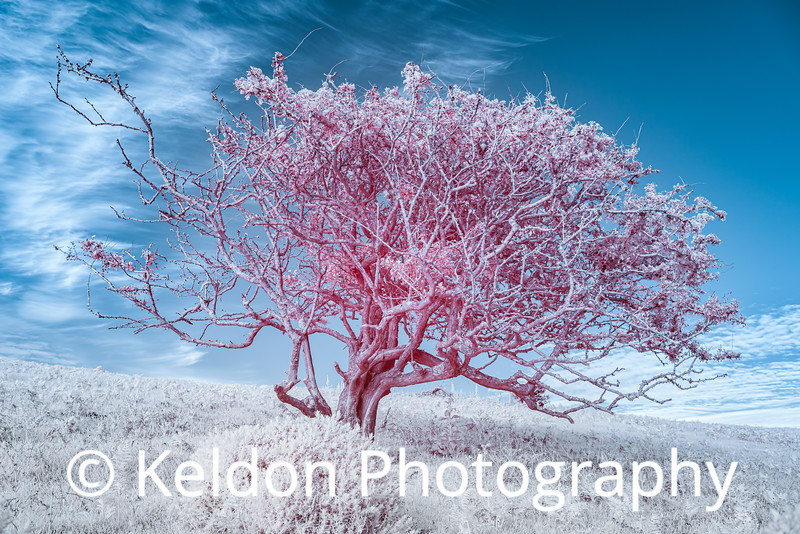 A Tree in Infrared