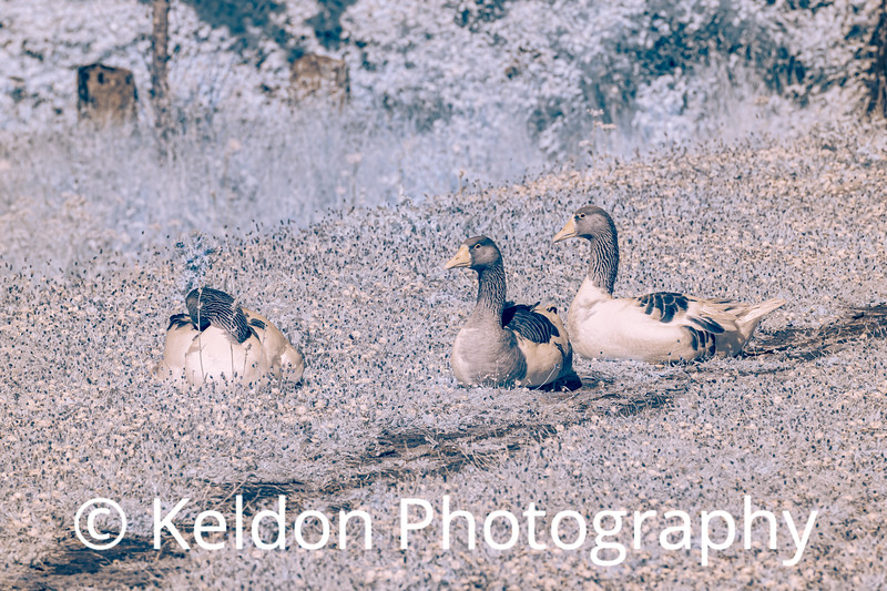 Geese at Queens Valley in Infrared