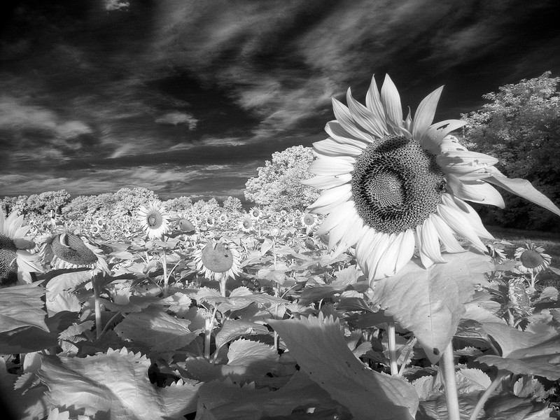 Sunflowers_07_2015-5