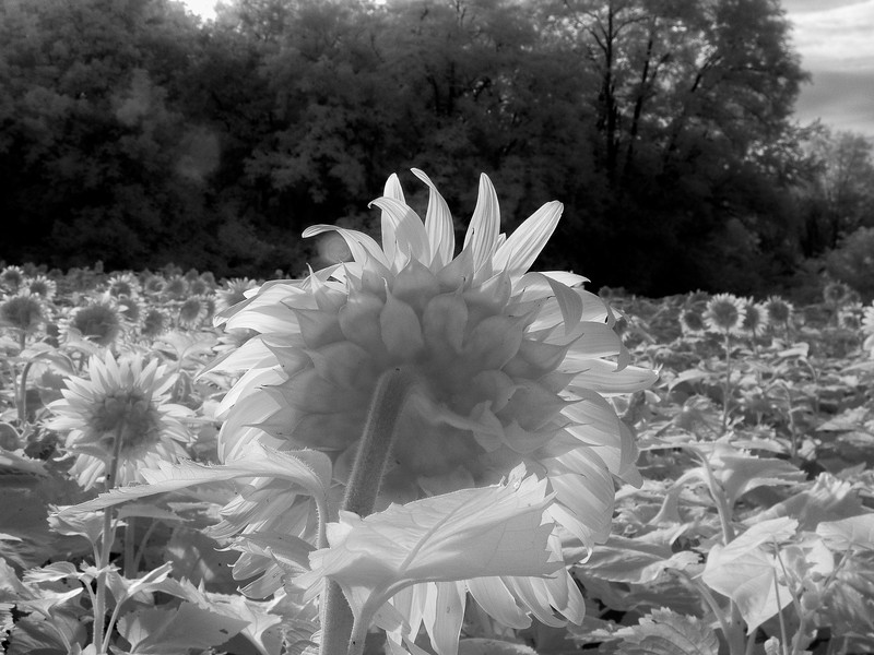 Sunflowers_07_2015-4