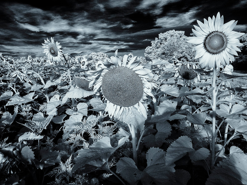 Sunflowers_07_2015-1