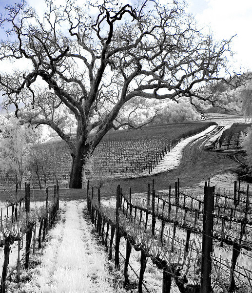 "<h4 style=""color:#CC9999;font-size:150%"" >Old Man Tree<font style=""color:red"" > 