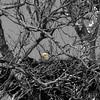 Eagles nest<br /> Sotterley Plantation (Maryland)