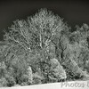Eagle's nest in the big tree<br /> - Infrared Photo -