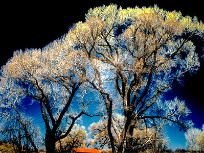 Trees, Lochiel, Arizona, 2004