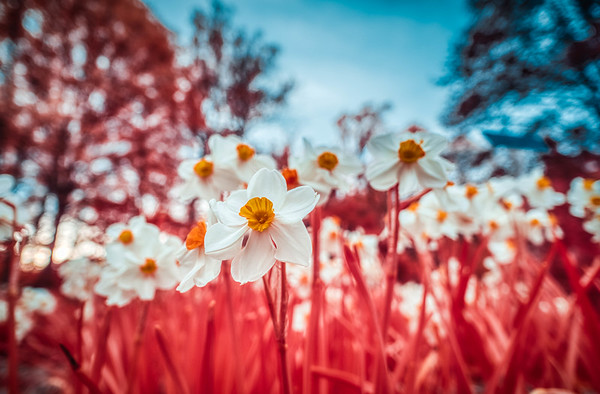 daffodils (IR chrome)