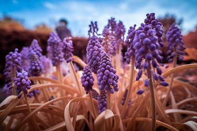 rusted grape hyacinths