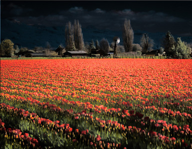 Tulip Field 1, Skagit County, Washington, 2000