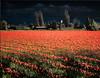 Tulip Field 1, Skagit County, Washington, 2000