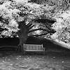 Yulan Magnolia Tree