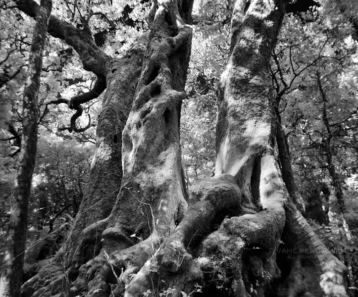 The Antarctic Beech