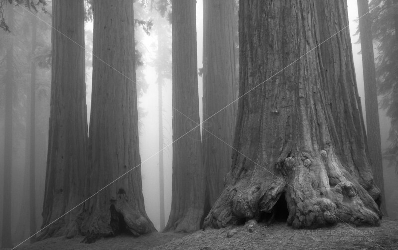 A Family of Sequoias