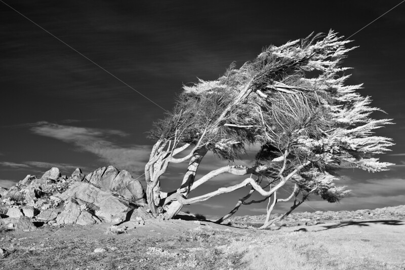 The Windswept Cypress