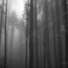 A Fog-Shrouded Sequoia Grove