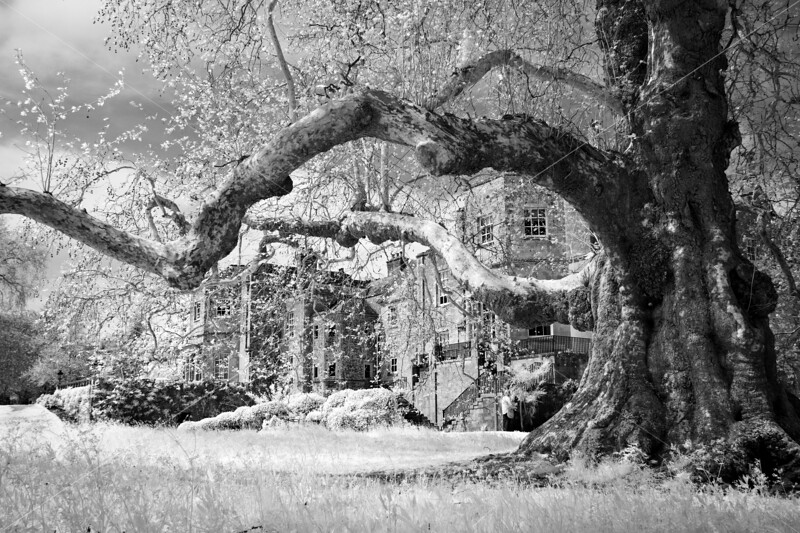 Mottisfont and the Ancient Plane