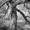 The Gnarled Tree