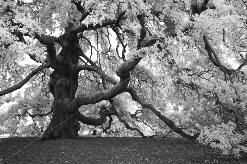 The Lucombre Oak