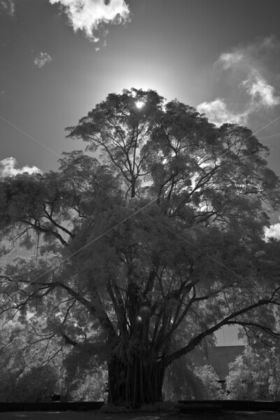 Silhuetted Tree